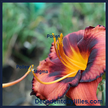 A Daylily being hybridised daylilies growing in my garden