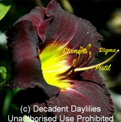 Daylily labeled flower parts for hybridising