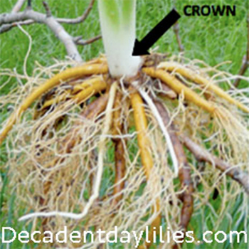 displaying daylily roots and crown daylily plant from my garden