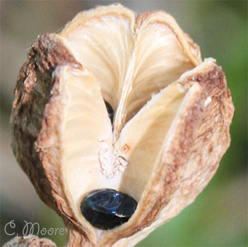 Seed pod with a daylily seed photo take in my garden