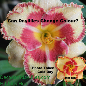 Daylily colour changes daylilies growing in my garden