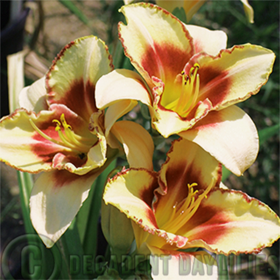 Daylily Planting daylilies growing in my garden