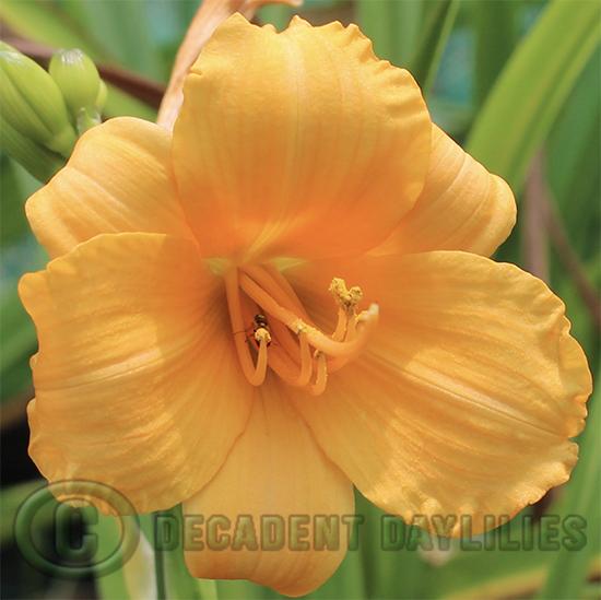 """miniature daylily 20"""" stems"""