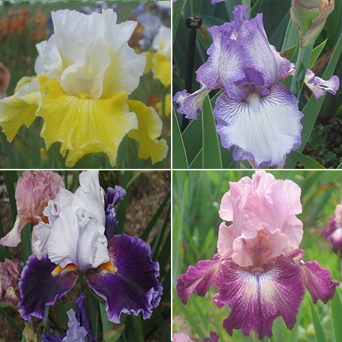 Bearded Iris Collection irises growing in my garden
