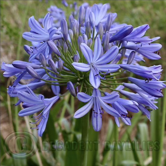 Tall blue agapanthus growing in my garden