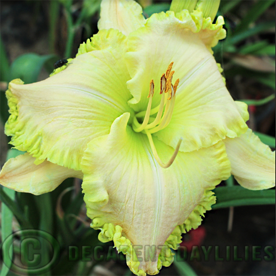 Daylily hybrids growing in my garden