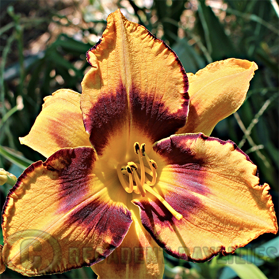 Daylily All American Tiger growing in my garden