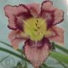 Daylily Get Jiggy Patterned daylily