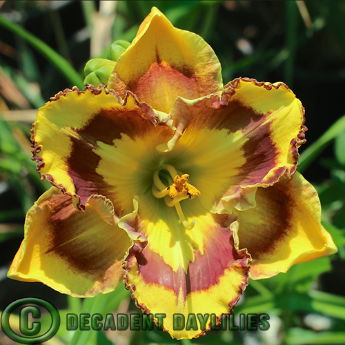 Daylily New Paradigm growing in my garden