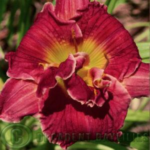 Daylily Pyromaniac at Decadent Daylilies