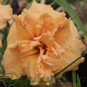 Daylily Ruffled Truffle flowering in my garden