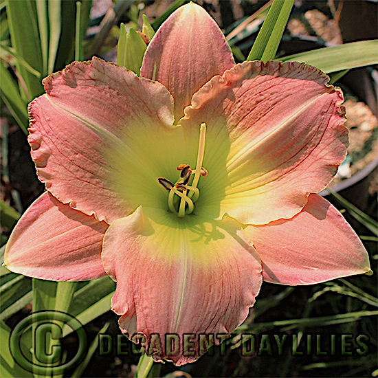 Daylily Thanks a bunch coral