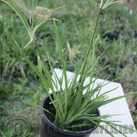 daylily proliferations growing on daylily stems