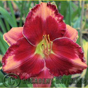Daylily Walter Kennedy growing in my garden