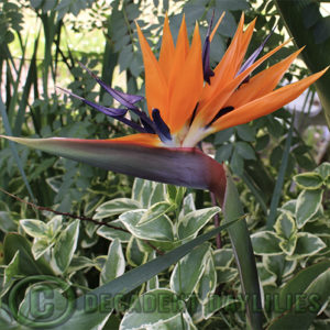 Bird of paradise growing in my garden