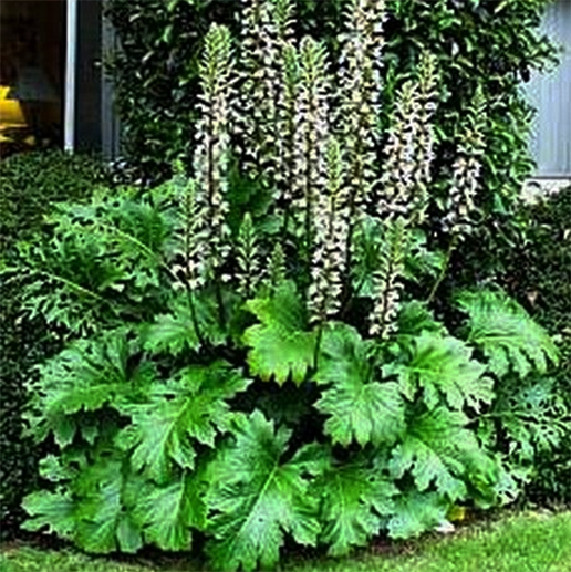 Acanthus Mollis oyster plant growing in my garden