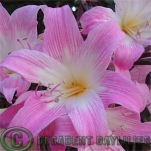 belladonna lilies flowering in my garden