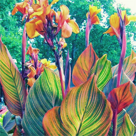 canna lily phasion growing in my garden