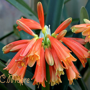 Clivia Cyrtanthiflora growing min my garden