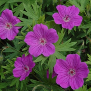 Geranium Cranesbill growing in my garden