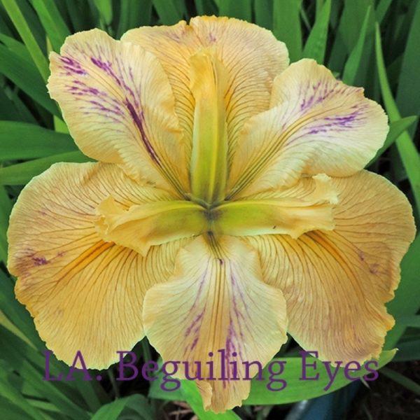 Louisiana Iris Irises growing in my garden