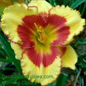 Daylily daylilies growing in my garden