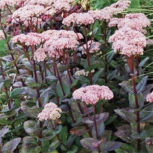 sedum matrona growing in my garden