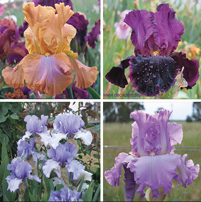 Tall Bearded Iris Collection growing in my garden
