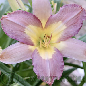 Daylily silver veil lilac coloured flowers