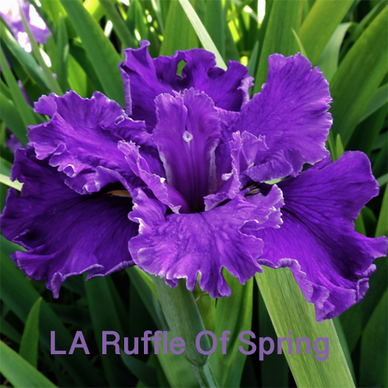 Beautiful Irises growing in my garden