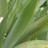 leaf spot disease growing on bearded iris leaves