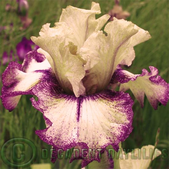 Bearded Iris hybrids growing in my garden
