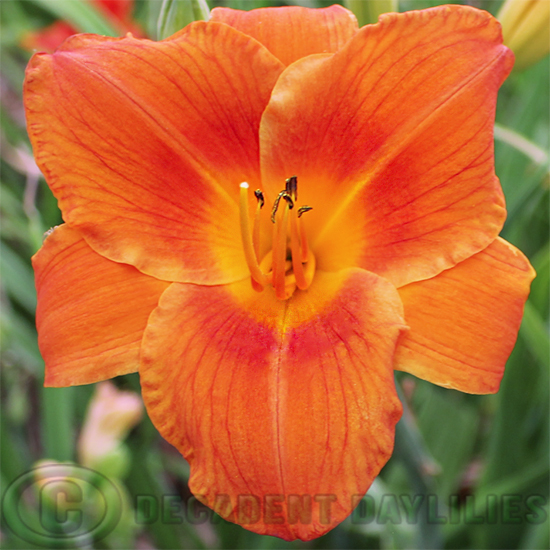 Daylily Rocket City picture