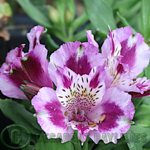 Alstroemeria Inca Mystic mauve and purple flowers