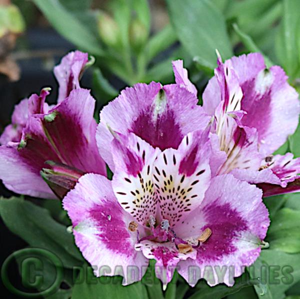 Alstroemeria Inca Mystic mauve and purple flowers