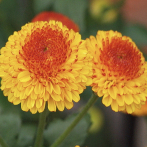 Chrysanthemum Kelvin Tattoo yellow and red flowers