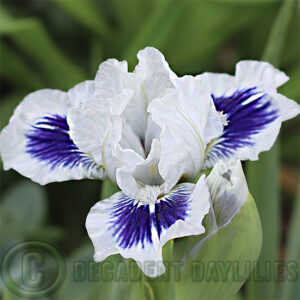 Beautiful Dwarf Bearded Iris growing in my garden