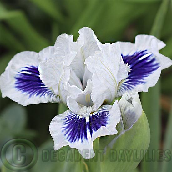 Beautiful Dwarf Bearded Iris growing in my garden