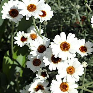 Rhodanthemum african eyes daisy flowing in my gardnen