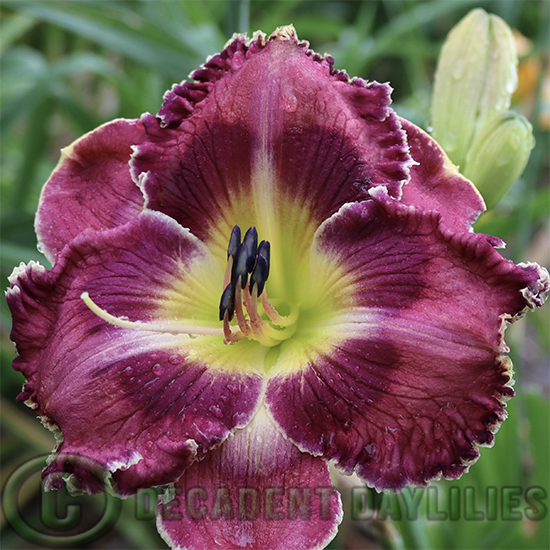 Daylily Silver Moon Sparkle growing at Decadent Daylilies Gardens