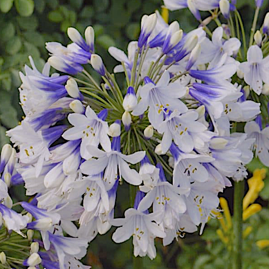 Agapanthus Enigma growing in my garden
