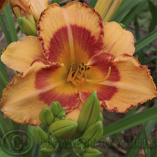 Daylily All Fired Up puts on a lovely show in my garden