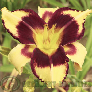 Daylily Jamaican Me Crazy growing in my garden