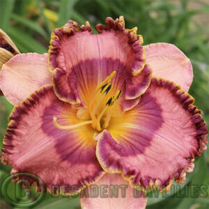 Daylily Nocturnal Butterfly flowering at Decadent Daylilies Gardens
