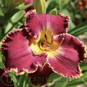 Striking purple daylily Sea of Cortez