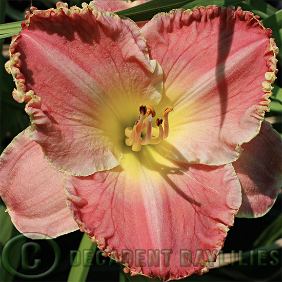Daylily Sonoma growing at Decadent Daylilies gardens