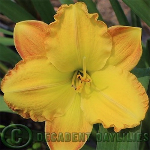 Daylily Unique Style growing in my garden