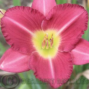 Daylily Maleny Flirt Flowering at Decadent Daylilies