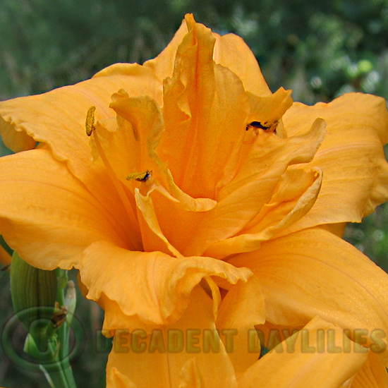 Daylily Double Talk golden double daylily