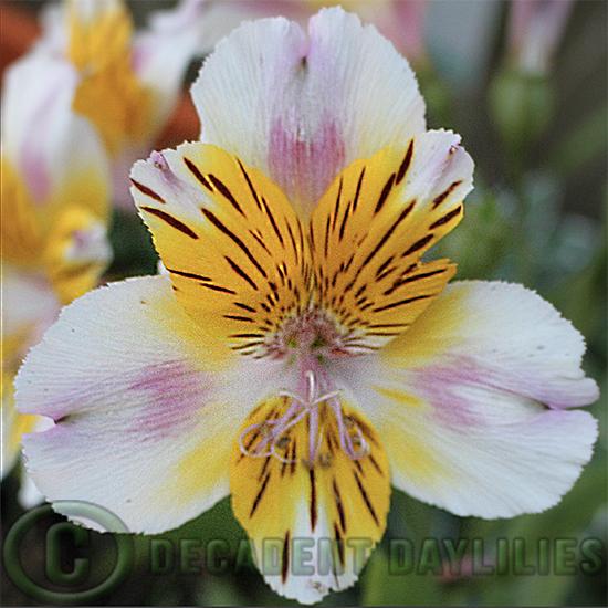 Alstroemeria Inca Smile flowers